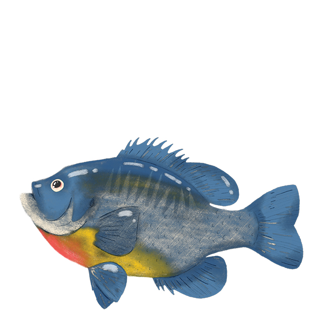 Illustration of a bluegill.