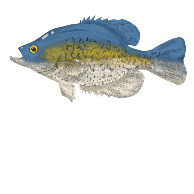 Illustration of crappie.