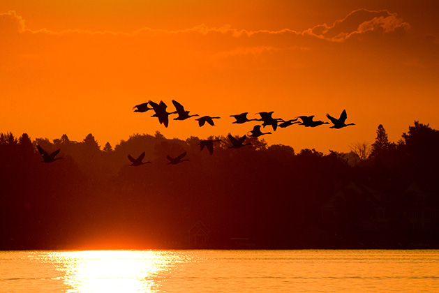 Canada geese flying over White Bear Lake